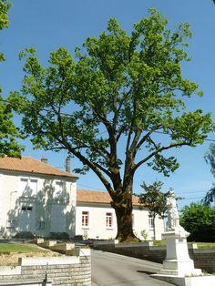 Roussines tilleul - Roussines (Charente) — Wikipédia