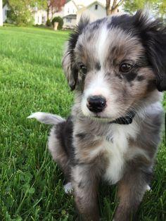 Blue Merle Aussiedoodle puppy