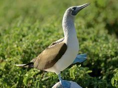 Blue-Footed Booby -Photograph by Tim Laman - Not just attractive physical features, the blue feet of this booby can be used to cover its chicks and keep them warm.