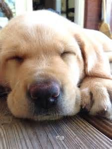 yellow lab pictures - Bing Images