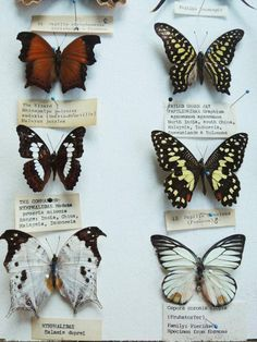 The Butterfly Project : Add personality to your home with DIY butterfly frames. – The Interior Perspective Butterfly Project, Butterfly Frame, Butterfly Museum, Arte Obscura, Curiosity Shop, Nature Collection, Insect Art, Nature Journal, Moth