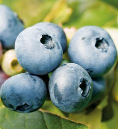 Bluecrop Blueberry from Arbor Day Foundation on Catalog Spree, my personal digital mall.