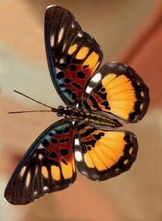 Pseudacraea warburgi, the Incipient False Acraea Glass Butterfly, Butterfly Painting, Butterfly Kisses, Butterfly Wallpaper, Butterfly Flowers, Butterfly Wings, Butterfly Mobile, Monarch Butterfly, Flying Flowers