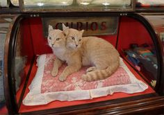 two headed cat