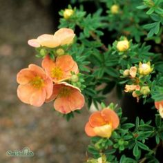 Potentilla fruticosa 'Daydawn'| Splendor Plant