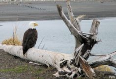 Around Alaska by Judy Jessee  Bald Eagle on the shore in Homer, Alaska