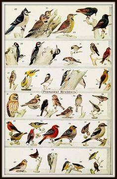 Woodpecker Identification Chart | Permanent and Winter Visitor Birds in Northern United States and ...