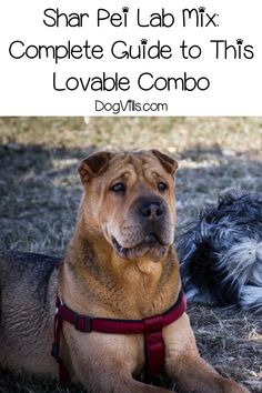 The Shar Pei Lab mix combines the size of Labradors and the crinkled cuteness of the Shar Pei. Read on to know more about this dog breed as a pet. Lab Mix Puppies, Dogs And Puppies, Labrador Breed, Family Friendly Dogs, Shar Pei Mix, Big Dog Little Dog, Dogs Online, What Kind Of Dog, Loyal Dogs