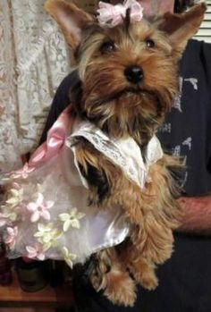 """We have two Limited AKC (No breeding rights) 'Tri' colored Female Yorkshire Terriers (""""Tara"""" and """"Jackie"""") available for Forever Homes.    They were born on 5/22/15 and are 5 mos old. They have all"""