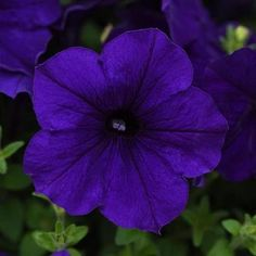 Check out the deal on Petunia E3 Easy Wave Blue 10 seeds at Hazzard's Home Gardener Blue And Purple Flowers, All Flowers, Zinnias, Petunias, Full Sun Annuals, Easy Waves, How To Attract Hummingbirds, Annual Flowers, Sun And Water