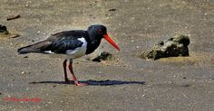 Passion for nature, wildlife, Photography.: Pied Oystercatcher on the Cairns esplanade. Cairns, Wildlife Photography, Nature Photography