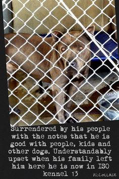 ~~~ATTENTION RESCUES - BUD IS NOT IN PUBLIC VIEW IN THE SHELTER...NEEDS HELP~~~ BUD - ID #A479352 (AVAIL NOW~MUST EXIT BY 3/3) SURRENDERED HERE BY HIS PEOPLE! ~Surrendered by his family with the notes that he is good with people, kids and other dogs. Understandably upset when his family left him here he is now in ISO kennel 13. My name is Bud and I am an unaltered male, blue and white Pit Bull Terrier. I am about 3 years old. I have been at the shelter since Feb 24, 2015. For more…