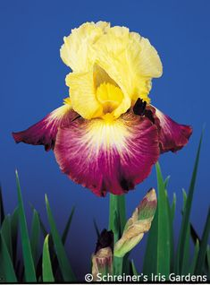 This unique Iris is a sibling to Bold Fashion. Note the starburst aurora of yellow and white that radiates from the deep magenta falls just below the beard. This...