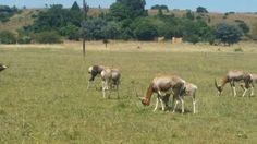 Livestock for sale in South Africa. OLX South Africa offers online, local & free classified ads for new & second hand Livestock. Livestock, Ads, Horses, Image, Animals, Animales, Animaux, Animal, Animais
