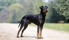 Manchester Terriers are suitable to many types of homes. Learn all about Manchester Terriers, including health problems and more.