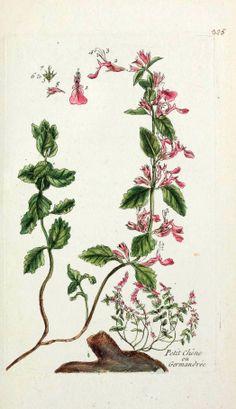 Germandrée (Teucrium chamædrys)   Remèdes de Grand-Mère