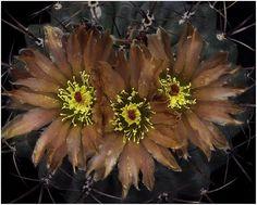 https://flic.kr/p/bV5Cff | CAC33 | Eriosyce setosiflora