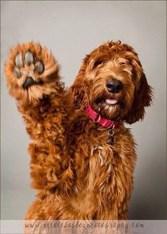 64 Best Golden Doodle Dog images in 2017 | Dogs