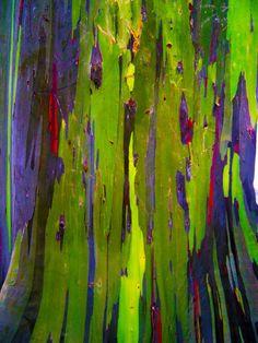 MariaJose: Un arbol de colores, el rainbow eucalyptus.