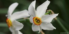Bulb Flowers, White Flowers, Beneficial Insects, Planting Bulbs, Autumn Garden, Daffodils, Trials, Stems, Things To Do