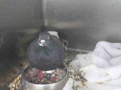A1105352 Rock Dove/Rock Pigeon found