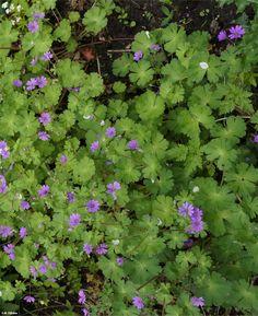Bermooievaarsbek - Geranium pyrenaicum