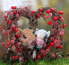 pigs in a heart