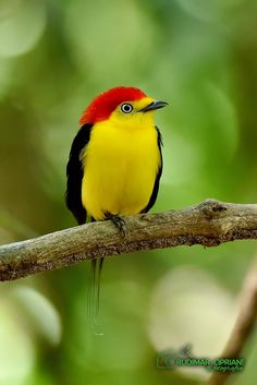 Wire Tailed Manakin - AWW!! - LOVE HIS CUTE LITTLE RED CAP!! - LOOKS AWESOME WITH HIS YELLOW SWEATER!!