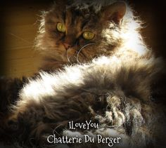IloveYou  Selkirk Rex poil long Chatterie du Berger