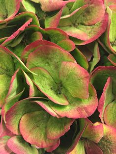 Intens color of #Hydrangea!