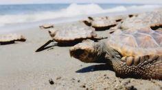 Cómo es el proceso de las tortugas bobas?
