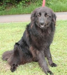 Meet Razzel  22261, a Petfinder adoptable Black Labrador Retriever Dog | Prattville, AL | Razzel is a 3-year-old female Black Lab/Great Pyrenees mix. She has a long black coat that would be...