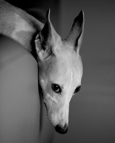 Classic whippet looking like a dragon pose. Dog Photos, Dog Pictures, Animals Beautiful, Cute Animals, Wild Animals, Baby Animals, Whippet Puppies, Whippets, Pet Dogs