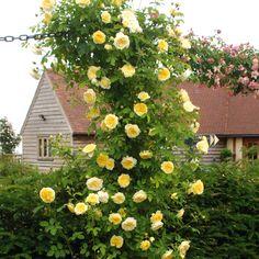 The Pilgrim - English Rose Climbers - English roses - bred by David Austin