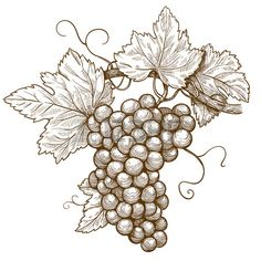 Illustration of vector illustration of engraving grapes on the branch on white background vector art, clipart and stock vectors. Botanical Drawings, Botanical Illustration, Engraving Illustration, Grape Wallpaper, Grape Drawing, Pyrography Patterns, Wood Burning Patterns, Hand Drawn Flowers, Carving Designs