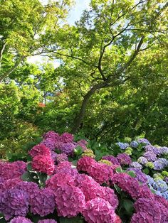 Hydrangeas and maples in the Botanic Gardens, Christchurch.