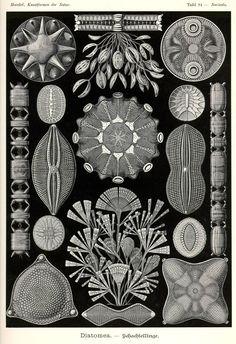Diatomea by Ernst Haeckel; Kunstformen der Natur, 1900