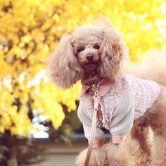 昨日のお散歩🐩から おはようございます☀️ ・ こちらのイチョウの木は、🍂まだ散ることなく健在✨ 枯れ木になるまで、こちらに来たら しばらく観察で📷とってみよーっと😊 ・ ・ #犬散歩#ココ #トイプードル#トイプー#トイプードルアプリコット#タイニープードル#愛犬#犬#散歩#トイプードル部#一眼レフ初心者#ペットネット#カメラ女子#写真#todayswanko#east_dog_japan#ig_dogphoto#peco犬部#cutdog#bestphotogram_dogs#coolangel369 #toypoodle#toypoo#toypoodlelove#_international_animals_#dog#eb_dogs#lovemydog#dogs