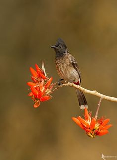 Red-vented Bulbul by Mahesh Reddy on 500px