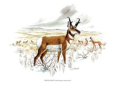 "A large print of the Pronghorn painted by James Lockhart for the book Wild America. The bookplate is 15"" wide and 12"" tall. by Blossomprintsandmore on Etsy"
