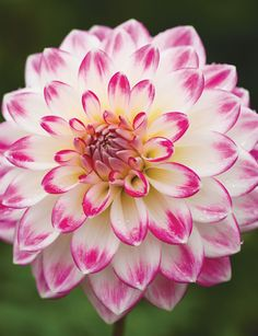 Dahlias are brilliant garden plants. They are long flowering, with lush foliage, they are easy to flower and care for and come in a huge array of colours shapes and sizes