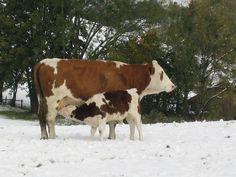 A pequena vaca está com fome. Cow, Animals, Photos, Animaux, Animal, Animales, Animais