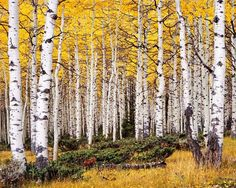 Pando tree, Fishlake National Forest, Utah, a quaking aspen that is a forest and is world's heaviest organism Pando Tree, Aspen Trees, Birch Trees, Unique Trees, Tree Leaves, Growing Tree, National Forest, Mind Blown, Plants