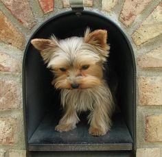 dog yorkshire terrier