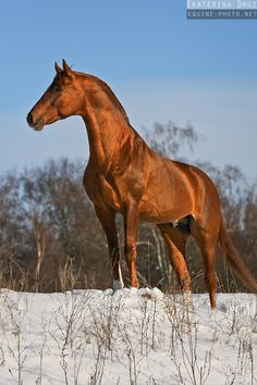 Copper red chestnut horse - Equine Photography by Ekaterina Druz