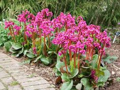 Bergenias are low maintenance, evergreen, will grow in sun or shade and tolerate a wide range of soils, including dry soils and clay. Bog Garden, Gravel Garden, Shade Garden, Garden Landscaping, Fruit Garden, Elephant Ears, Hardy Plants, Plant Nursery, Plantation