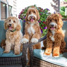 Tripple Trouble - Reagan the Australian Labradoodle & his Cousin Pals
