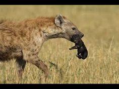 La Vie Des Hyénes VF Complet (reportage emission TV film Documentaire) documentaire, vidéo, reportage, emission télévisé, video documentaire, documentaire st...