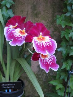 """Orchid at Longwood Gardens, Philadelphia """"Beetoven"""". Exotic Plants, Exotic Flowers, Tropical Plants, Beautiful Flowers, Water Culture Orchids, Plante Carnivore, Longwood Gardens, Fruit Plants, Purple Orchids"""