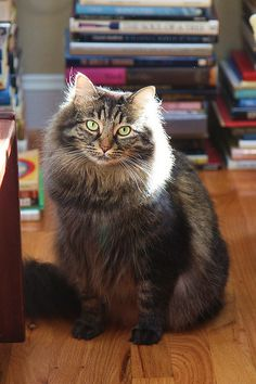 "And playing the critical role of Mr. Fluffikins...  ""Marco the Maine Coon Cat"" Photo by Mr. T in DC"